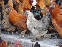 无量山乌骨鸡鸡王评选赛中最漂亮的母鸡