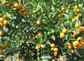 金柑栽培技术