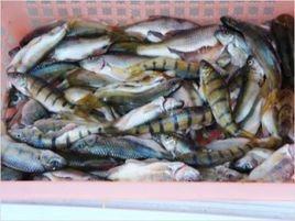 石斑鱼网箱养殖