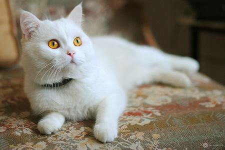 白猫图片大全可爱