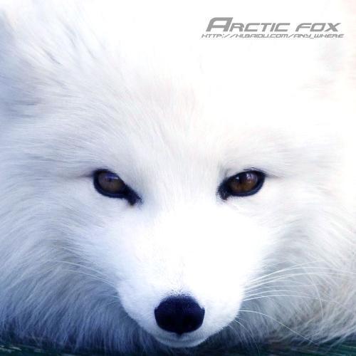 狐狸的颜色是颜色因品种不同有白色的雪狐 青灰色的蓝狐 黑色的银黑狐