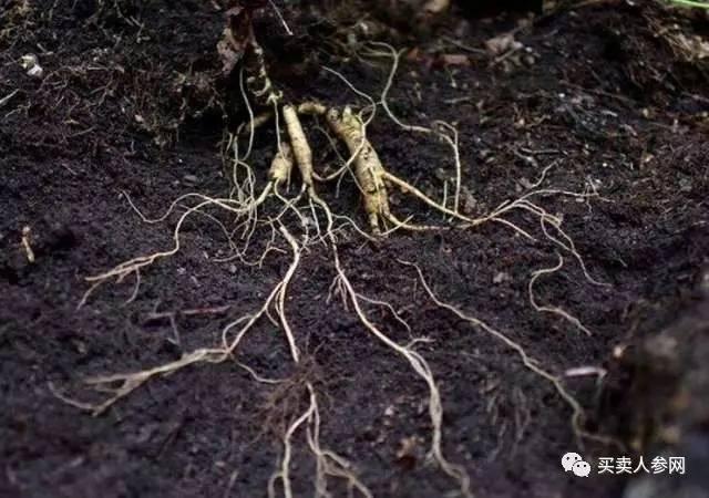 等参出土后,将其放在一段桶状树皮(里面垫上青苔)里,装适量的原坑土封