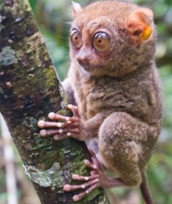 猴是世界上体形最小的灵长类动物之一,拥有一双大眼睛和一对大耳朵