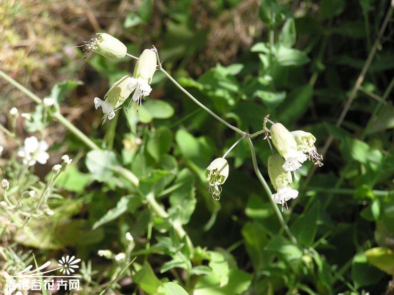 毛湖北蝇子草
