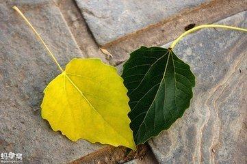 杨树叶和槐树叶的相同_360问答图片