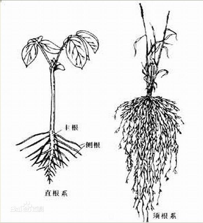 小麦的生长过程简笔画