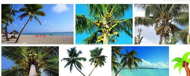 椰子树的叶子为什么长在树冠上?