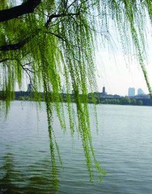 壁纸 垂柳 风景 柳树 摄影 树 桌面 300_382 竖版 竖屏 手机