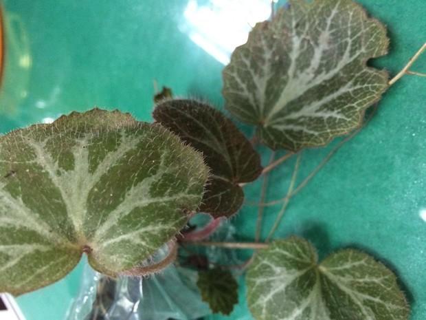 求一植物,叶子周边是锯齿状,背面有紫色麻点,正面有紫色绒毛图片