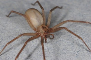 这种巴掌大的织网蜘蛛,它还棕色,腿上有毛,是拉伸视频铝图片